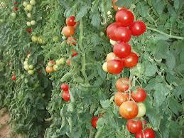 تقرير ،موجز عن مراحل نمو الطماطم مادة الأحياء صف حادي عشر علمي