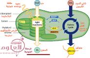 بحث عن التفاعلات الضوئية واللا ضوئية لمادة الاحياء الصف حادي عشر علمي