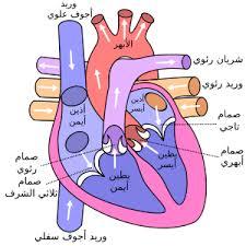 درس القلب مادة الاحياء صف حادي عشر أدبي