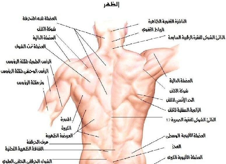 تشريح الظهر والنخاع الشوكي لطلاب السنة التحضيرية في سوريا