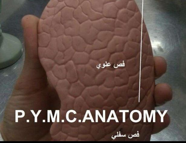 مجسمات جهاز التنفس لطلاب التحضيرية الطبية في سوريا