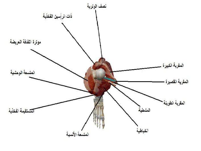 عضلات الفخذ والساعد والساق تشريح لطلاب السنة التحضيرية في سوريا
