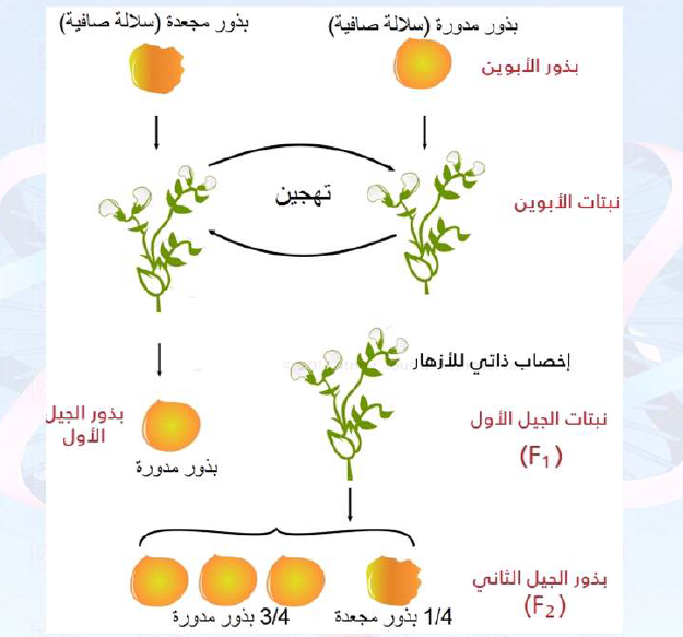 سلايدات الوراثة الفصل الاول لطلاب السنة التحضيرية في سوريا