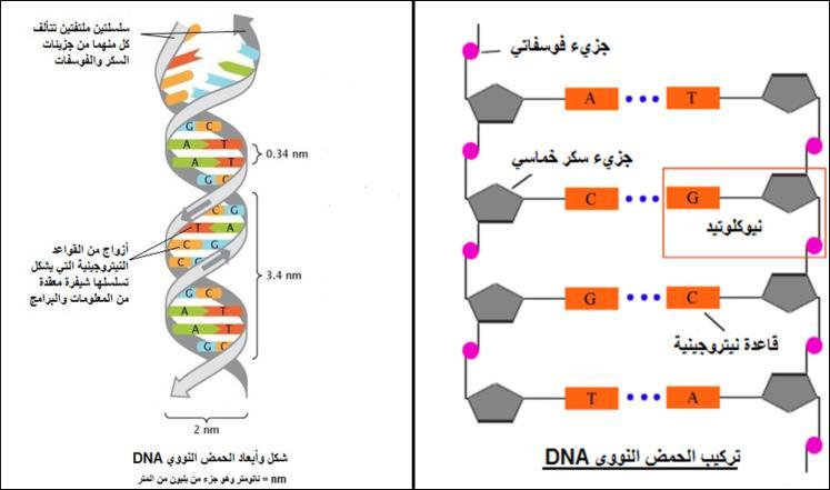 بكالوريا علوم -  الفرق بين dna وال rna